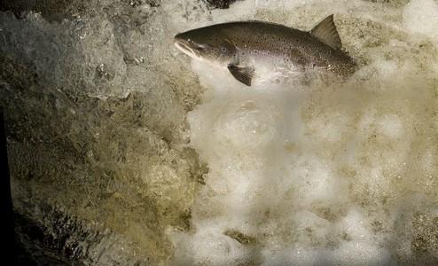 92 saumons de capturés au total !