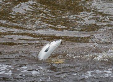Les saumons sont rendus dans le secteur 1B !!!